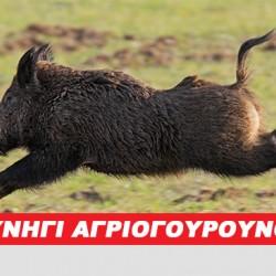 ΚΥΝΗΓΙ ΑΓΡΙΟΓΟΥΡΟΥΝΟΥ